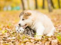 Alaskiego malamute szczeniak bawić się z figlarką, gryźć swój ogon w jesień parku Fotografia Royalty Free