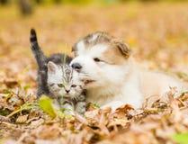 Alaskiego malamute szczeniak bawić się z figlarką w jesień parku Zdjęcia Stock