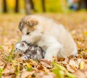 Alaskiego malamute szczeniak bawić się z figlarką w jesień parku Obrazy Royalty Free