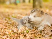 Alaskiego malamute szczeniak bawić się z figlarką w jesień parku Zdjęcie Stock