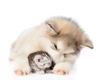 Alaskiego malamute szczeniak bawić się z malutką figlarką Odizolowywający na bielu Obrazy Stock