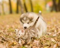 Alaskiego malamute szczeniak bawić się z tabby figlarką na jesieni ulistnieniu w parku Zdjęcie Stock
