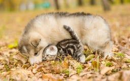 Alaskiego malamute szczeniak bawić się z tabby figlarką na jesieni ulistnieniu w parku Obraz Stock