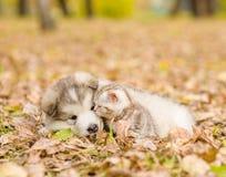 Alaskiego malamute szczeniak bawić się z tabby figlarką w jesień parku Zdjęcie Royalty Free