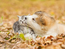 alaskiego malamute szczeniak całuje szkockiej figlarki w jesień parku Zdjęcie Royalty Free