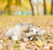 alaskiego malamute szczeniak całuje szkockiej figlarki w jesień parku Fotografia Royalty Free