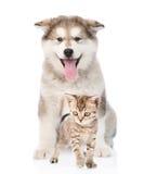 Alaskiego malamute szczeniak i Bengal figlarka Odizolowywający na bielu Obraz Stock
