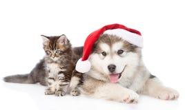 Alaskiego malamute szczeniak i Maine coon kocimy się z czerwonym Santa kapeluszem Odizolowywający na bielu Zdjęcia Royalty Free