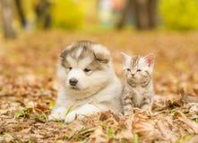 Alaskiego malamute szczeniak i szkocka figlarka kłama wpólnie w jesień parku Obraz Stock