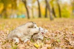 Alaskiego malamute szczeniak i szkocka figlarka kłama wpólnie w aucie Zdjęcia Stock