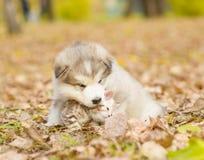 Alaskiego malamute szczeniak liże ślicznej tabby figlarki w jesień parku Zdjęcie Royalty Free