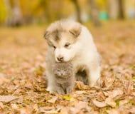 Alaskiego malamute szczeniak obejmuje ślicznej figlarki w jesień parku Zdjęcia Stock