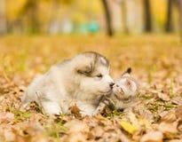alaskiego malamute szczeniak obwąchuje szkockiej figlarki w jesień parku Zdjęcie Royalty Free