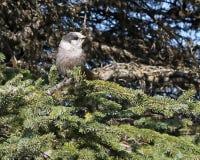 Alaskischer grauer Jay auf einem gezierten Zweig Lizenzfreie Stockbilder