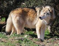 Alaskischer Gray Wolf Profile Lizenzfreie Stockfotos