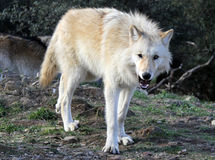 Alaskischer Gray Wolf Threatening Stockfotos