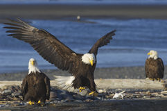 Alaskischer kahler Adler Stockbild