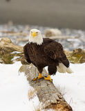 Alaskischer kahler Adler Stockfoto
