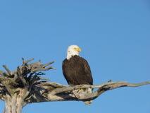 Alaskischer kahler Adler auf hölzerner Stange Stockfotos