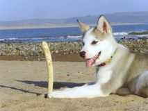 Alaskischer Malamute auf Strand Stockfotografie