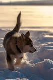 Alaskischer Malamute, der im Schnee spielt Stockbilder