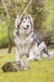 Alaskischer Malamute in einem Park Lizenzfreie Stockfotos