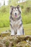 Alaskischer Malamute in einem Park Lizenzfreies Stockfoto