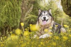 Alaskischer Malamute in einem Park Lizenzfreie Stockfotografie