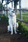 Alaskischer Malamute-Hund Stockfotografie