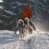 Alaskischer Malamute mit Skifahrer Pulka-Disziplin stockfotografie