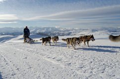 Alaskischer Malamute sleddog in den Alpen Nockberge-longtrail stockfotografie