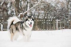 Alaskischer Malamute-Spielen im Freien im Schnee, Wintersaison playful stockbilder