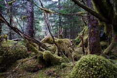 Alaskischer Regenwald - Baumaste umfasst mit Moos Lizenzfreie Stockfotografie