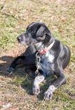 Alaskischer Schlittenhund Stockfoto
