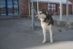 Alaskischer Schlittenhund Stockfotografie