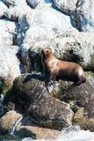 Alaskischer Seelöwe auf Felsen Stockfoto