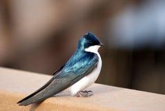 Alaskischer Singvogel, der auf Geländer hockt Lizenzfreie Stockfotografie