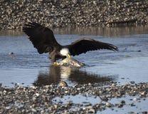 Alaskischer Weißkopfseeadler, der Lachse isst Stockbild