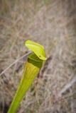 alata komarnicy palu miotacza rośliny sarracenia Zdjęcie Royalty Free