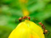 Alata Linn της Cassia και μυρμήγκι Στοκ εικόνα με δικαίωμα ελεύθερης χρήσης