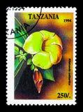 Alata Thunbergia, тропическое serie цветков, около 1994 Стоковые Фотографии RF