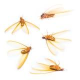 Alate lub termit biała mrówka odizolowywająca Fotografia Royalty Free