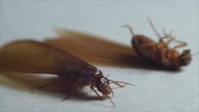 Alated termity jeden supined jeden pozycję zbiory