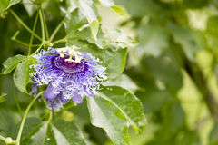 Alatocaeruleac Lindley della passiflora x Fotografia Stock
