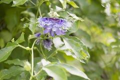 Alatocaeruleac Lindley della passiflora x Immagini Stock