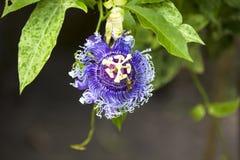 Alatocaeruleac Lindley della passiflora x Fotografia Stock Libera da Diritti