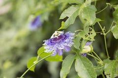 Alatocaeruleac Lindley della passiflora x Immagine Stock
