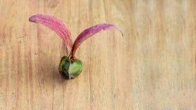 Alatus de Dipterocarpus, semilla coa alas Fotografía de archivo libre de regalías