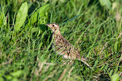 Alauda arvensis, Skylark Stock Photo