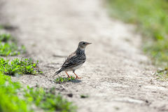 Alauda arvensis, Skylark Royalty Free Stock Photography